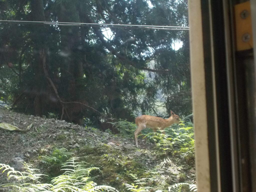 叡山ケーブルで見た鹿