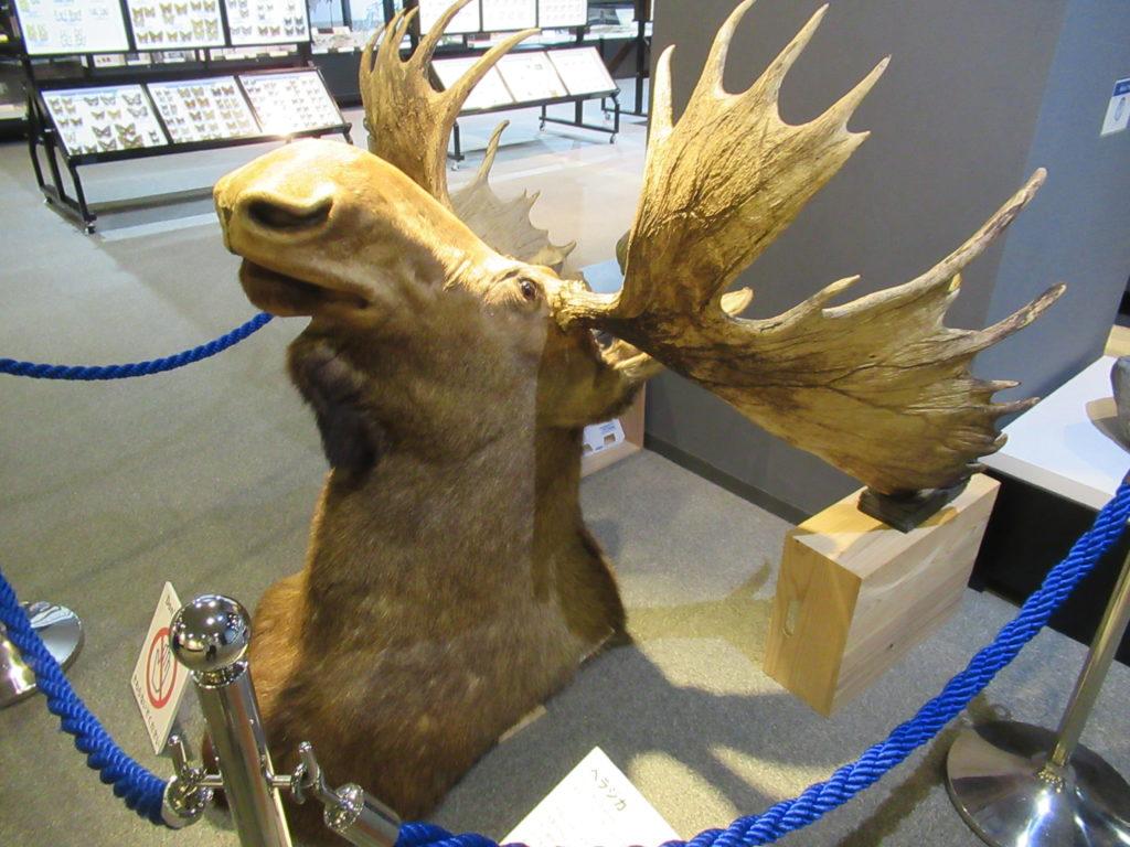 兵庫県立 人と自然の博物館(ひとはく)ヘラジカ